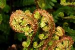Raggtrjon (Dryopteris affinis)